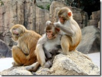 250px-Rhesus_Macaques_4528