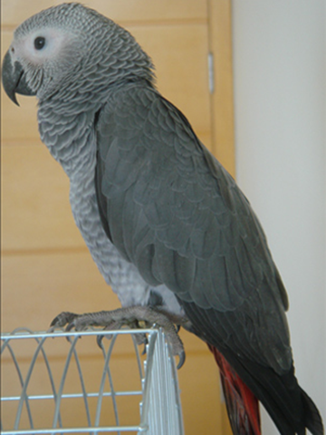 papagaiobatu